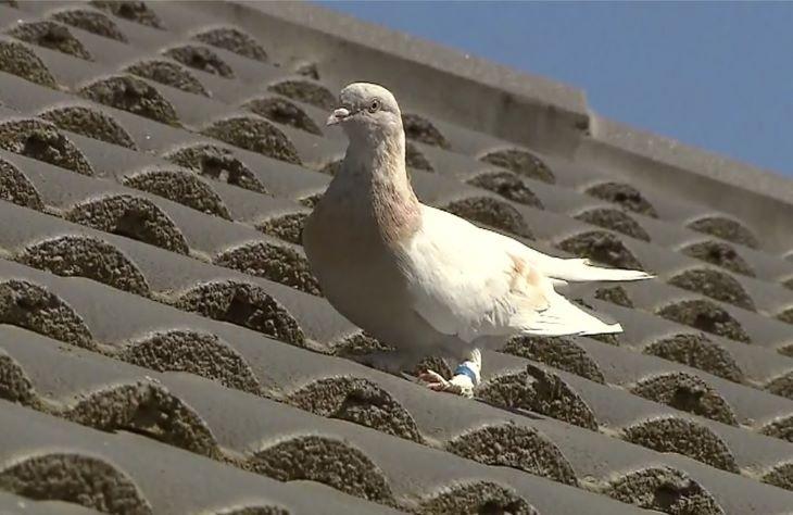 Hamis volt az állítólag Amerikából Ausztráliába repült versenygalamb szalagja - a galambot az ausztrálok meg akarták ölni
