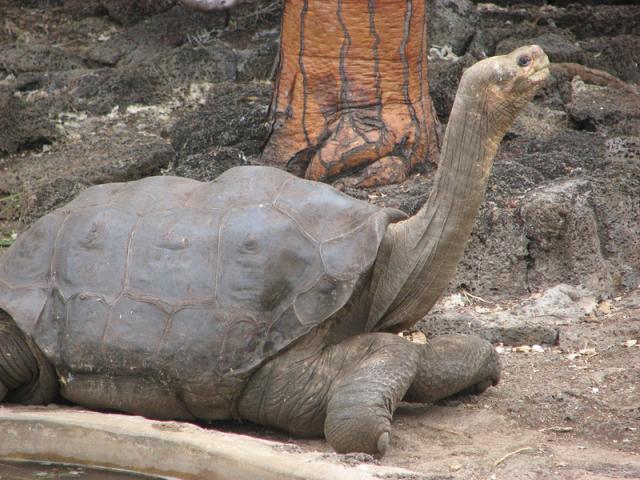 """""""Magányos György"""", a legendás teknős teste bebalzsamozva tér haza Galápagosra"""