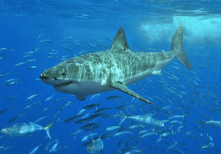 Elorozta a horgász zsákmányát egy nagy fehér cápa (VIDEÓ)