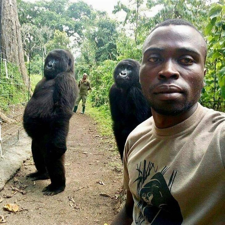 Amint meglátták a mobiltelefont, elkezdtek pózolni a szelfiző gorillák
