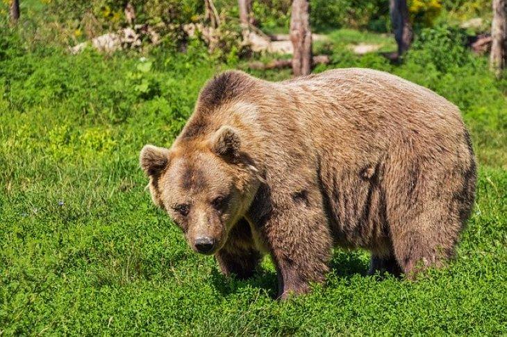 Ismét elfogták az olasz Alpok szabadulóbajnok medvéjét