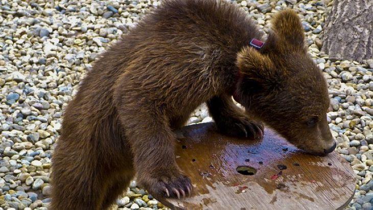 Kutyakölyöknek hitt egy medvebocsot egy férfi