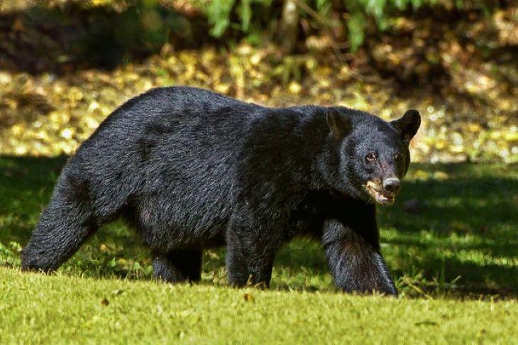 ÉSZMEGÁLL: A vécén ült, amikor megtámadta egy medve