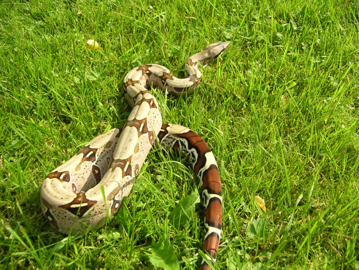Óriáskígyó után folyt a vadászat egy kisvárosban