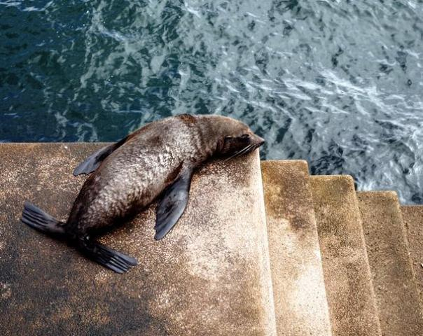 Egy fóka napozott a  sydneyi operaház lépcsőjén