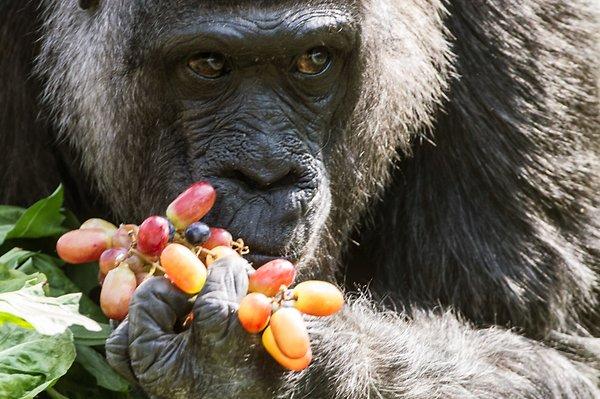 Gyümölcskosárral lepték meg születésnapján a 60 éves gorillát