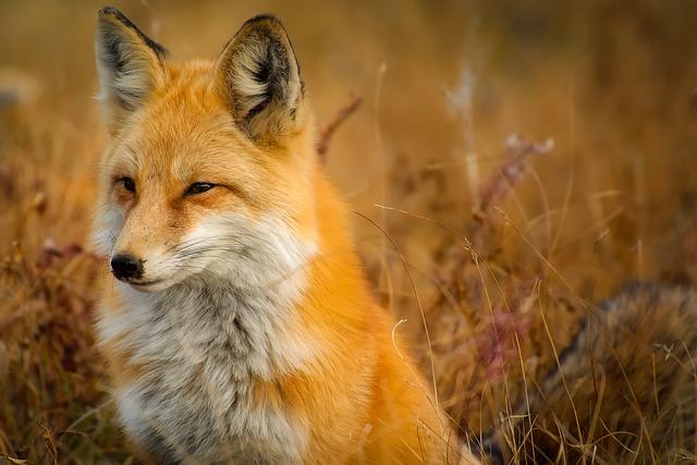 Megöltek a tyúkok egy rókát