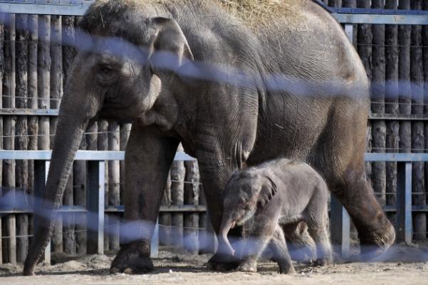 Ha nincs más dolgod, megnézheted az újszülött budapeti kiselefántot