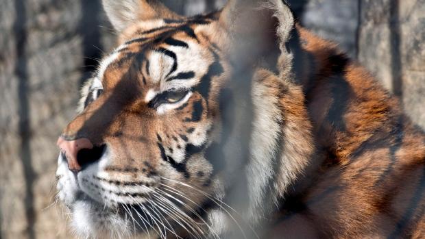 Átugrott a szomszédba a teraszról egy bengáli tigris