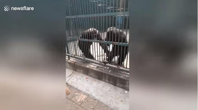 Ellopta a csimpánz a szelfibotot, azonban társa visszaadta a tulajdonosának (VIDEÓ)