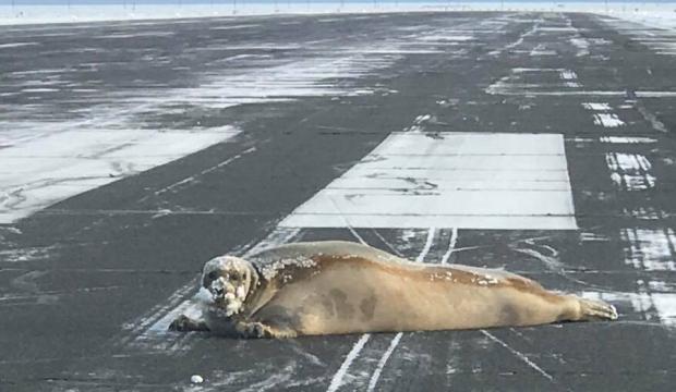 Kétszáz kilogrammos fókát sodort a vihar egy repülőtér kifutójára