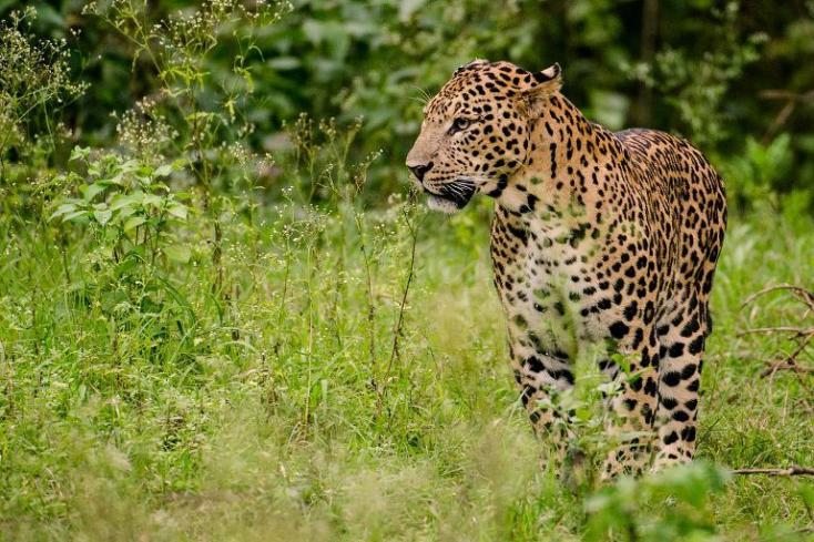 Házba betörő leopárdot fogtak el (FOTÓ)