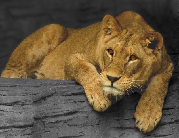 Kiszökött egy oroszlán a ketrecéből az állatkertben, a látogatókat evakuálták