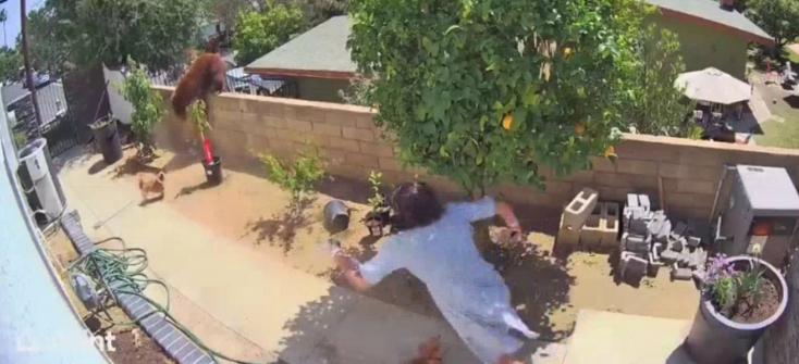BÁTOR: Kézzel lökte le a kerítésről a kutyáit pofozgató anyamedvét egy tinédzser - VIDEÓ