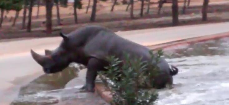 Egy víziló mentette ki az orrszarvút a vízből