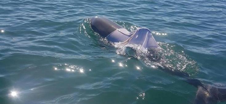 Valaki pólót húzott a delfinre – emiatt el is pusztulhat