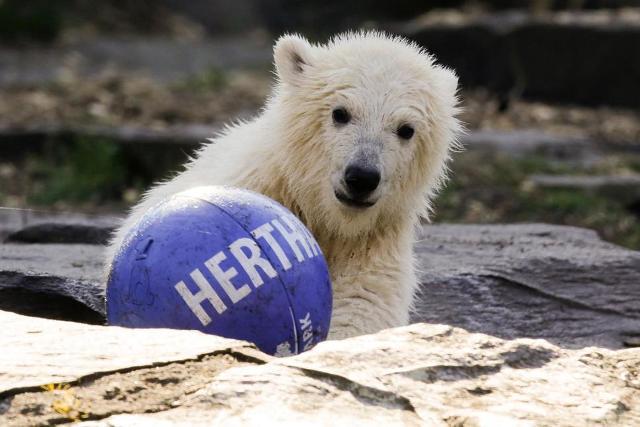 A német főrváros leghíresebb sportegyesületéről neveztek el egy jegesmedvebocsot