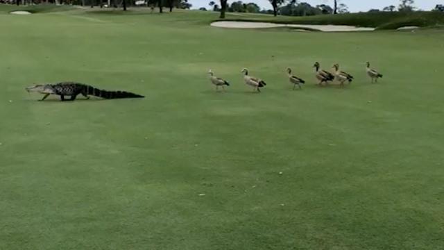 Ludak kergettek el egy aligátort a golfpályáról (VIDEÓ)
