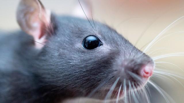 Egy patkány miatt félbeszakadt két táncelőadás