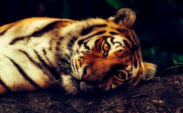 Sértetlenül előkerült a tigris, amely egy lakóövezetben kóborolva keltett riadalmat (VIDEÓ)