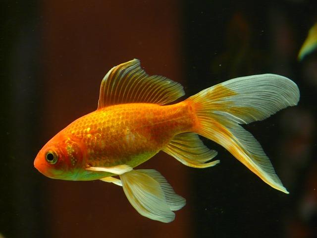 Kimúlt a világ legöregebb aranyhala