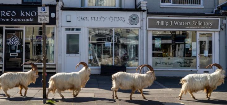Járványpara: elnéptelenedtek egy tengerparti nyaralóhely utcái, a kecskék birtokba vették a várost